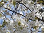 cherry blossom&honeybee.jpg